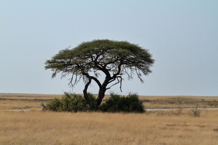 Umbrella Thorn Acacia in the African Savannah