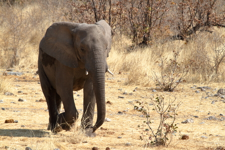 poaching: Elephants in the Etosha National Park in Namibia