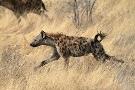 hyena: Hyena in the savannah of the Etosha Park