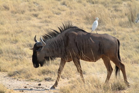 wildebeest: Wildebeest in the savannah of the Etosha Park in Namibia