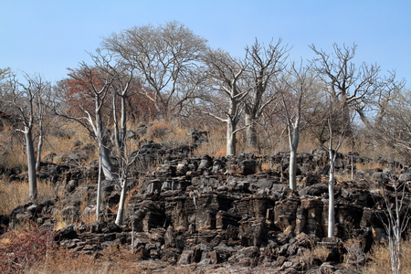 Baobab trees in the African savannah Stock Photo