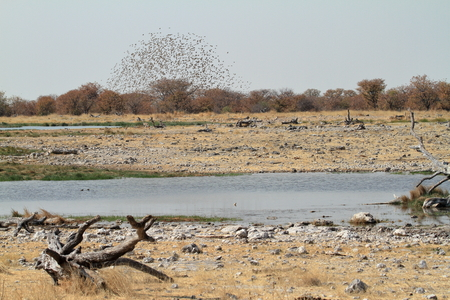 namibia: Swarms of weaver birds in Namibia