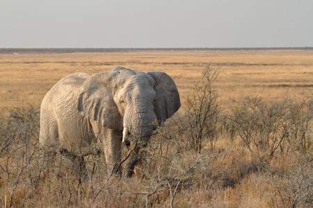 poaching: Elephants in the Etosha National Park in Namibia