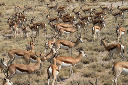antidorcas: Springboks in Etosha Park in Namibia