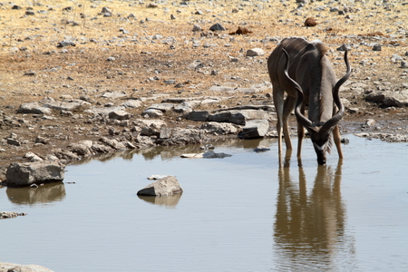 herbivores: Greater Kudu in savannah in Etosha Park Namibia