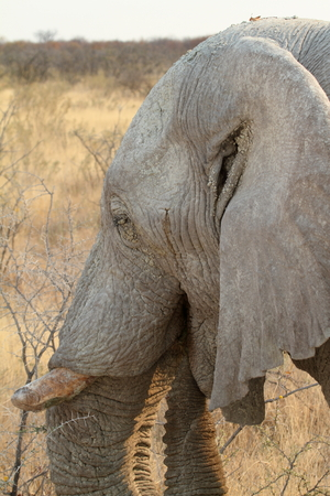pachyderm: Elephants in the Etosha National Park in Namibianam
