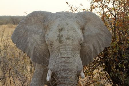 poacher: Elephants in the Etosha National Park in Namibia