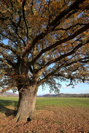 arbol roble: viejo roble en otoño de oro Foto de archivo