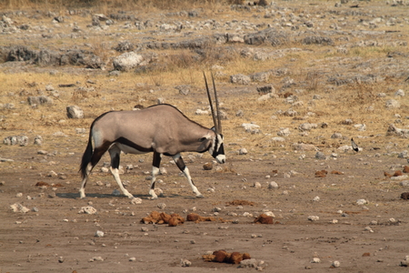 oryx: Oryx antelope in the savannah of the Etosha Park in Namibia