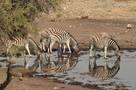 burchell: Zebras in the Etosha National Park in Namibia