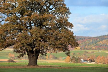 Old oak tree in golden autumn Stock Photo