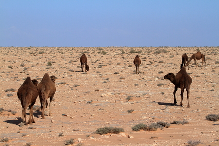 dromedaries: Dromedaries in the Sahara Stock Photo