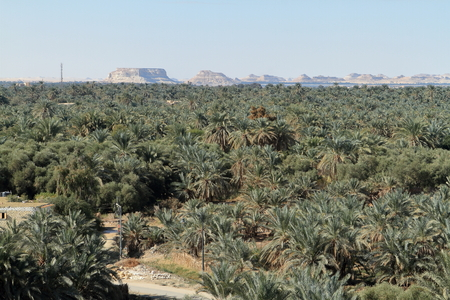 oasis: Palm forest in the Siwa Oasis in Egypt