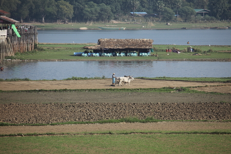 rice harvest: Agriculture and rice harvest in Myanmar