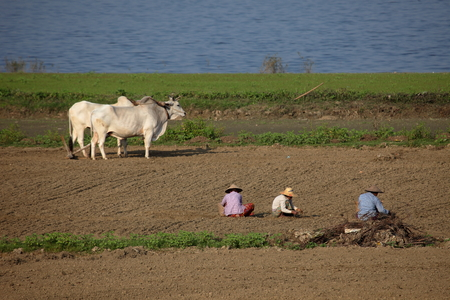 developing country: Agriculture and rice harvest in Myanmar