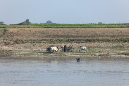 oxen: Farming with oxen in Myanmar
