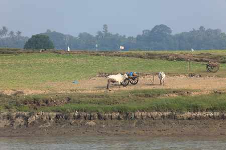 buey: La agricultura con bueyes en Myanmar Foto de archivo