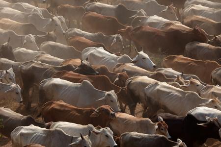 Cow herd Standard-Bild