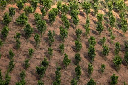 plantations: Tea plantations in Myanmar Stock Photo