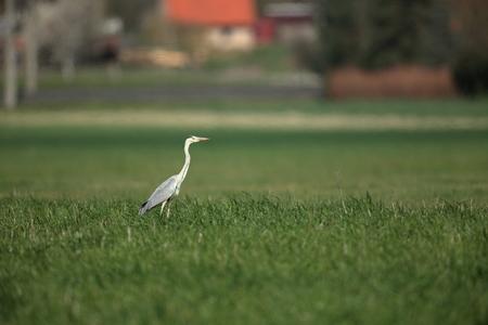 heron: Grey Heron or Heron