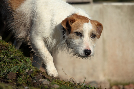 lap dog: Jack Russel terrier Stock Photo