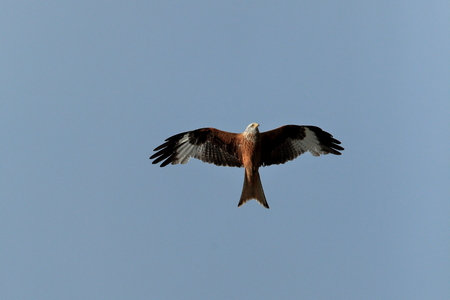 milvus: Red Kite in flight