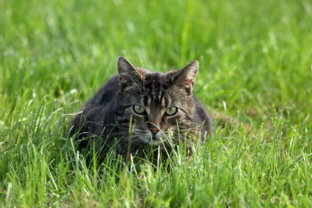 felis silvestris catus: Wild Domestic Cat at hunting mice