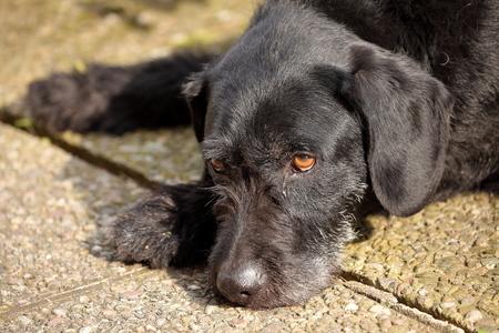 hound: Hound German Wirehaired Pointer