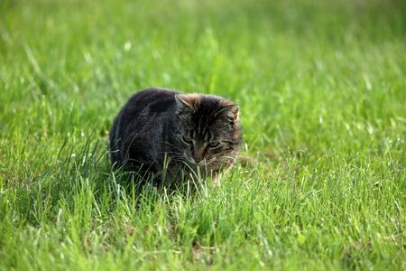 felis silvestris catus: Wild Domestic Cat at hunting mice
