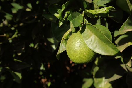 naranja arbol: Orange tree with unripe oranges Foto de archivo