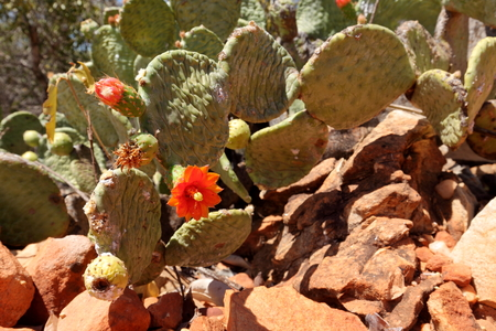 prickly pear: Cactus blossom on prickly pear Stock Photo