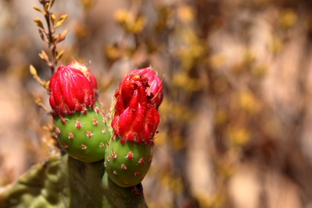 prickly: Cactus blossom on prickly pear Stock Photo