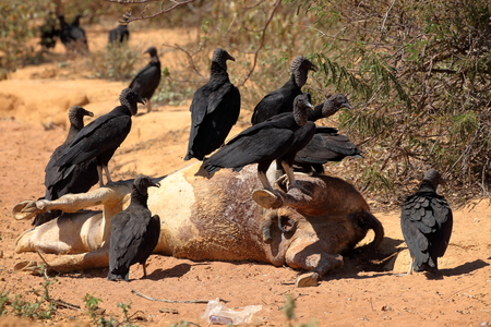 carrion: Black Vulture at Aas seizure Stock Photo