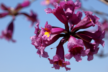 catalpa: The pink flowers of Handroanthus heptaphyllus catalpa