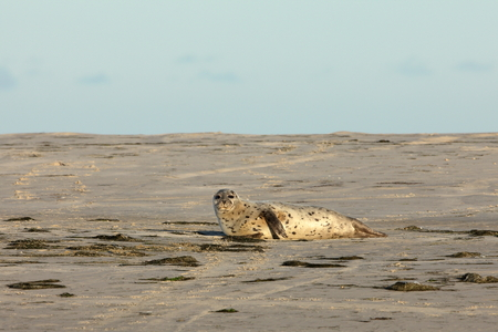 sandbank: Seals on the sandbank Stock Photo