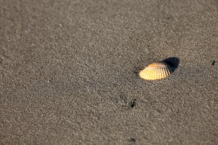 sandbank: Cockle on the sandbank