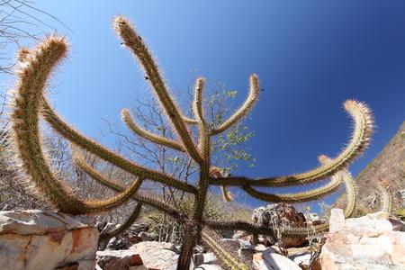 Cacti in the Caatinga in Brazil