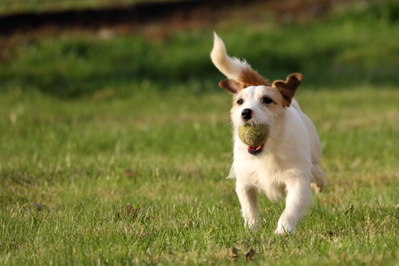 russell: Jack Russell Parson Terrier Stock Photo