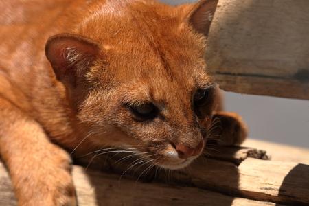 The South American weasel cat Jaguarundi Stock Photo