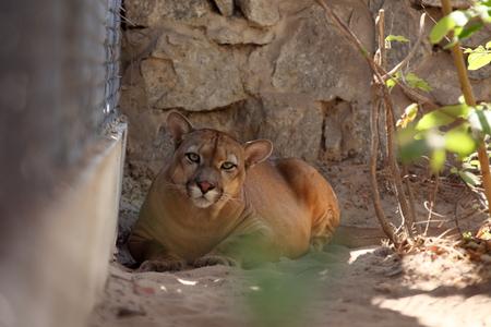 The Puma or mountain lion Stock Photo