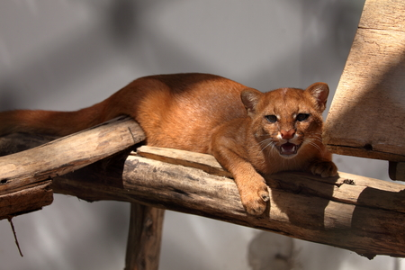 weasel: The South American weasel cat Jaguarundi Stock Photo