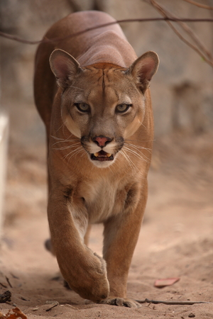 The cougar or mountain lion 版權商用圖片