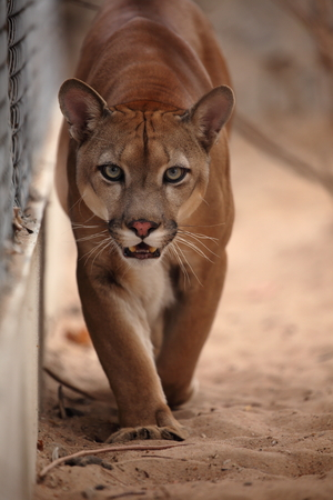 The cougar or mountain lion Stock Photo