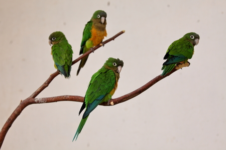periquito: Cactus parakeet from Brazil