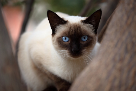 racy: Cat with blue eyes Stock Photo