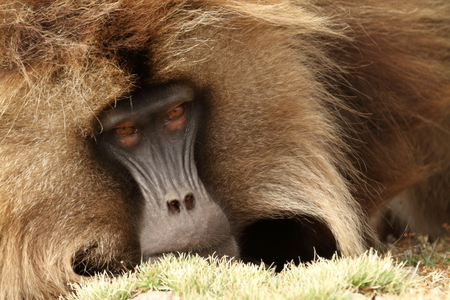 simian: Gelada baboons in the Simien Mountains of Ethiopia