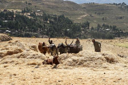 Cereals harvest in Ethiopia