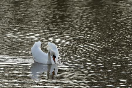 Humperschwan on the water