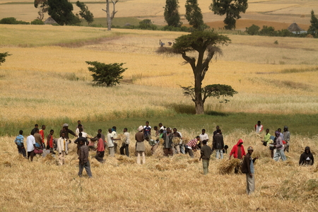 Grain harvesting in Ethiopia in Africa