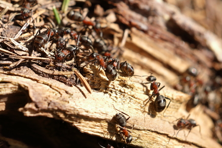 The red wood ant Stock Photo